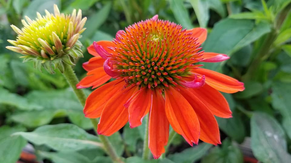 Echinacea 'Balsomador' (PP 26,639) SOMBRERO® ADOBE ORANGE CONEFLOWER