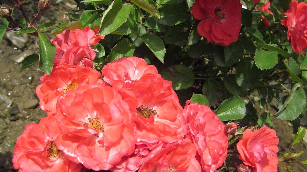Rosa 'BAIove' EASY ELEGANCE® CORAL COVE ROSE