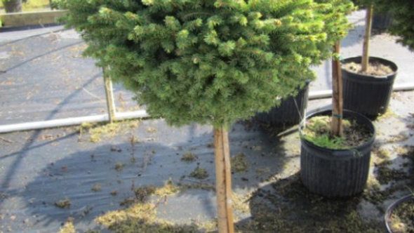 Picea abies 'Little Gem' LITTLE GEM NEST SPRUCE