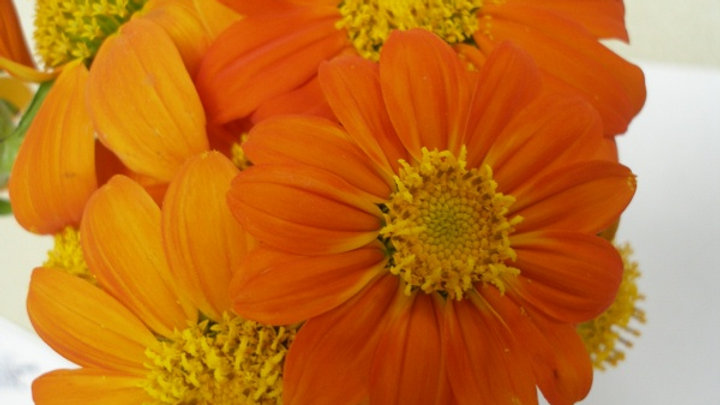 Tithonia rotundifolia 'Red Torch' RED TORCH MEXICAN SUNFLOWER
