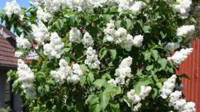 Syringa vulgaris 'Madam Lemoine' MADAM LEMOINE FRENCH LILAC