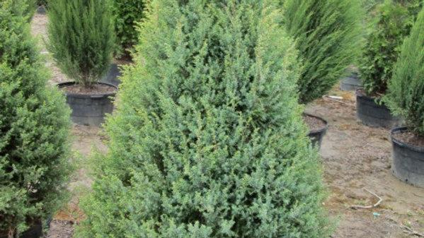 Juniperus communis 'Gold Cone' GOLD CONE JUNIPER