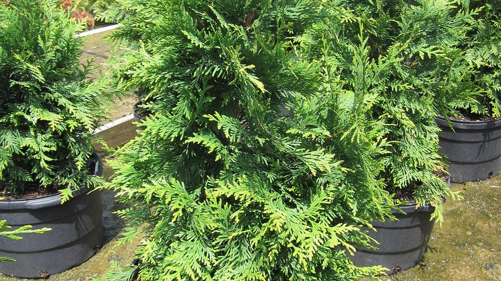 Thuja plicata 'Green Giant' GREEN GIANT ARBORVITAE