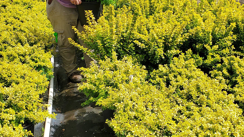 Berberis thunbergii 'Golden Rocket' (PP 18,626) GOLDEN ROCKET BARBERRY
