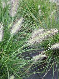 fountain grass flower.JPG