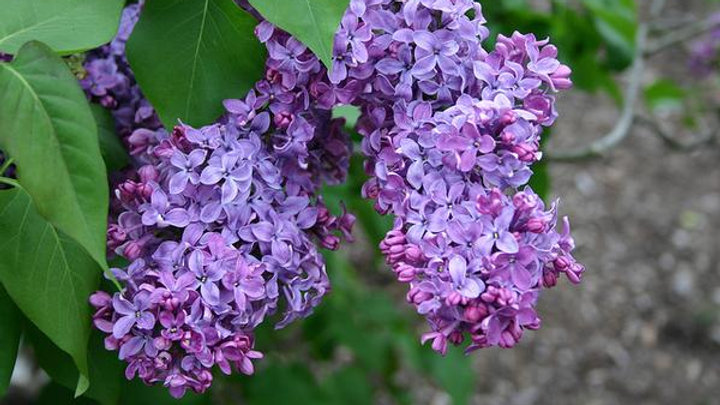 Syringa vulgaris COMMON PURPLE LILAC