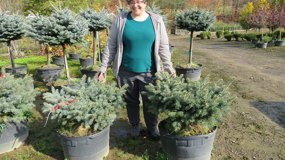 Picea pungens glauca 'Globosa' DWARF GLOBE BLUE SPRUCE