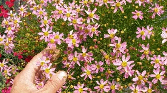 Coreopsis rosea 'American Dream' AMERICAN DREAM TICKSEED
