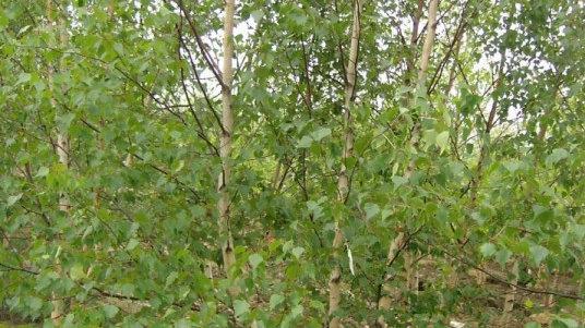Betula populifolia 'Whitespire Senior' WHITESPIRE SENIOR BIRCH