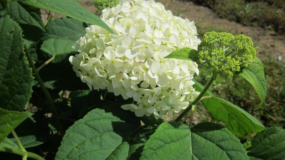 Hydrangea arborescens 'Annabelle' ANNABELLE HYDRANGEA