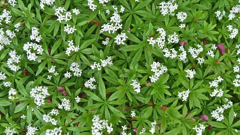 Galium odorata   (Formerly Asperula ordata) SWEET WOODRUFF