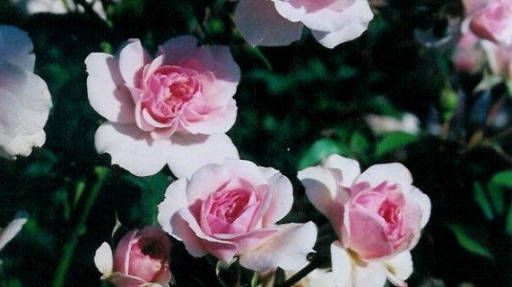 Rosa 'Meidomonac' BONICA® ROSE