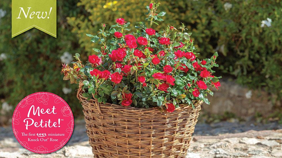 Rosa 'Meibenbino' (PP 30,811) THE PETITE KNOCK OUT® ROSE
