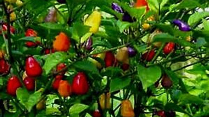 Capisicum 'Chinese 5 Color' CHINESE 5 COLOR PEPPER