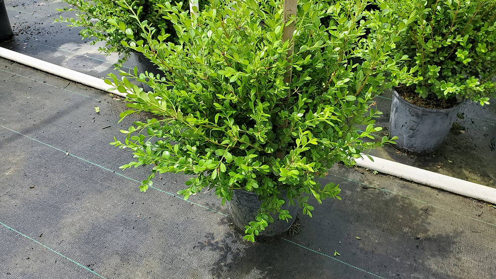 Buxus microphylla 'Winter Gem' WINTER GEM BOXWOOD