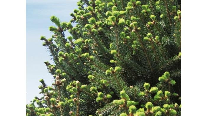 Picea abies 'Cupressina' COLUMNAR NORWAY SPRUCE