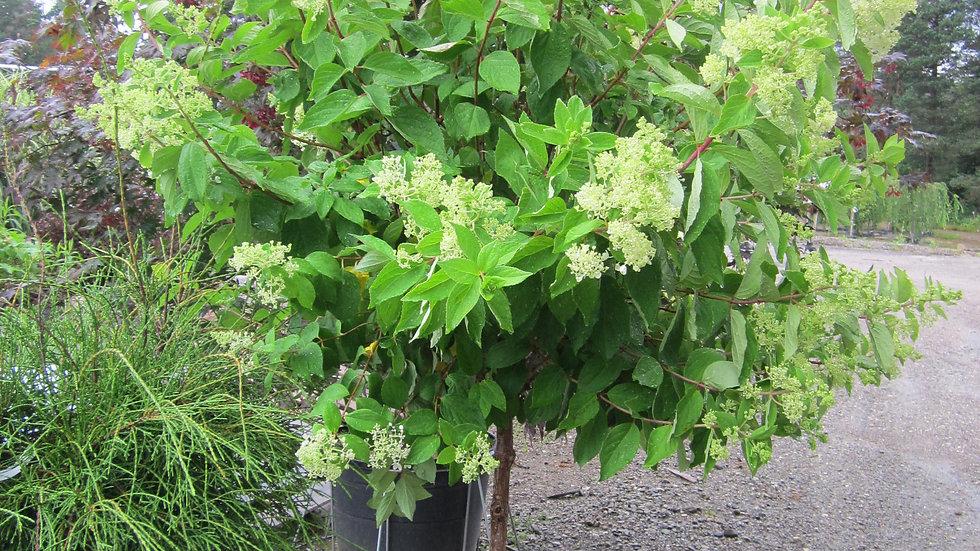 Hydrangea paniculata 'Phantom' PHANTOM HYDRANGEA TREE