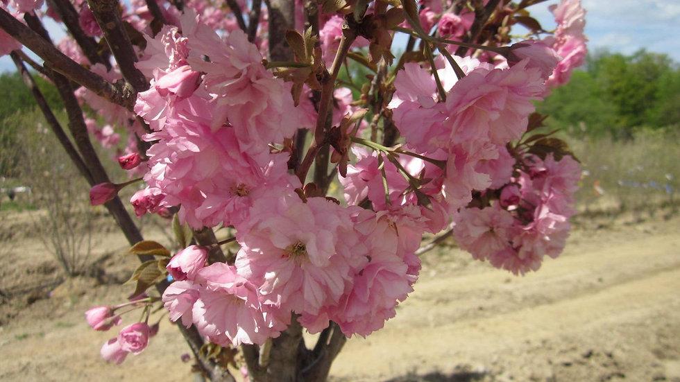 Prunus serrulata 'Kwanzan' KWANZAN CHERRY