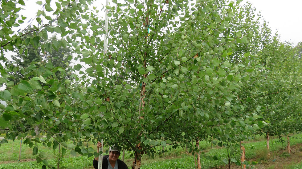 Betula nigra 'Cully' (PP 4,409) HERITAGE® RIVER BIRCH - Single Stem Form