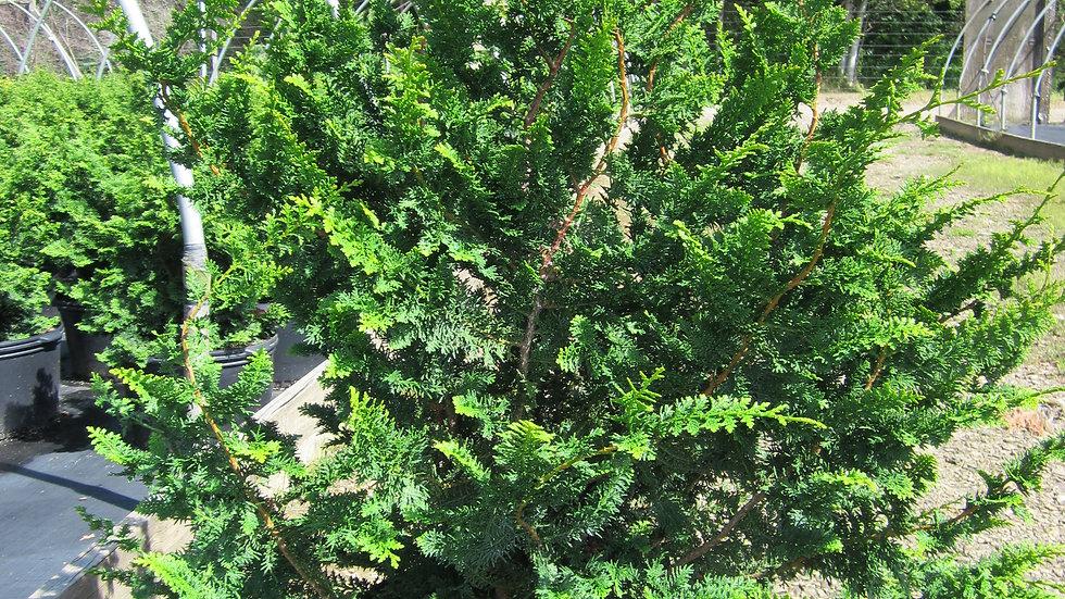 Chamaecyparis obtusa 'Filicoides' FERNSPRAY FALSE CYPRESS