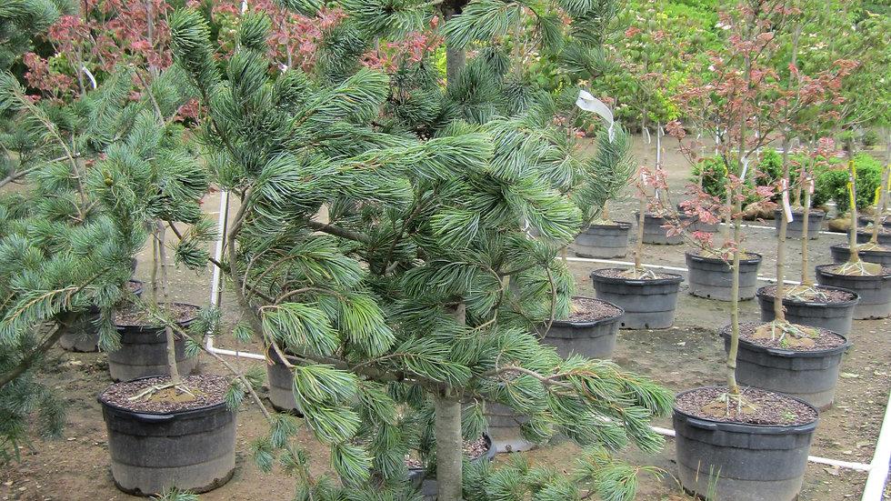 Pinus parviflora glauca BLUE JAPANESE WHITE PINE