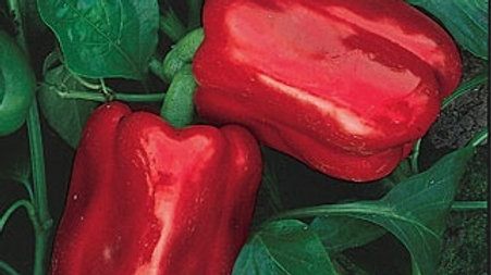 Capisicum 'Chinese Giant' CHINESE GIANT BELL PEPPER
