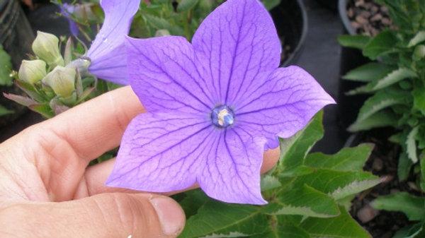 Platycodon grandiflora 'Sentimental Blue' SENTIMENTAL BLUE BALLOON FLOWER