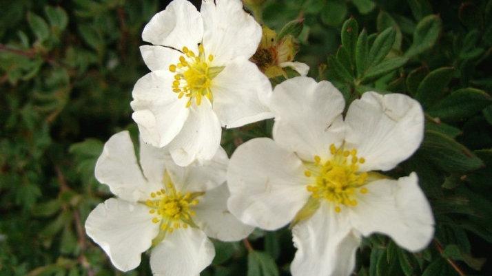 Potentilla fruticosa 'McKay's White' McKAY'S WHITE POTENTILLA