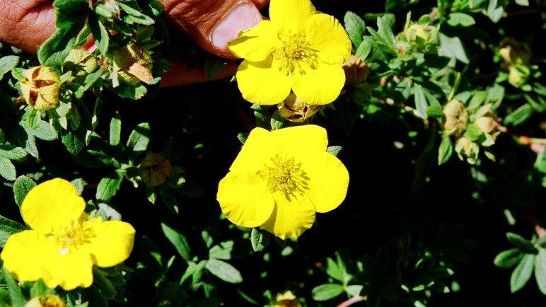 Potentilla fruticosa 'Gold Star' GOLD STAR POTENTILLA