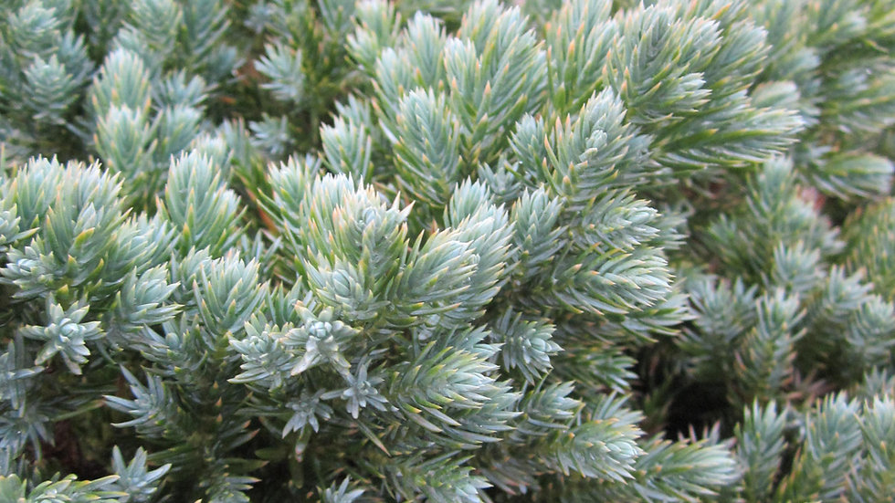 Juniperus squamata 'Blue Star' BLUE STAR JUNIPER