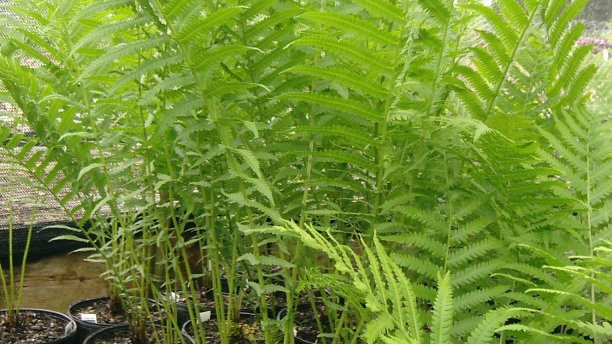 Matteuccia struthiopteris (Formerly M. pennsylvanica) OSTRICH FERN