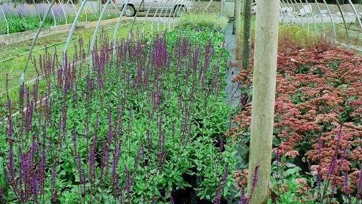 Salvia nemorosa 'Caradonna' CARADONNA HYBRID SAGE