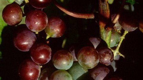 Vitis 'Somerset Seedless' SOMERSET SEEDLESS GRAPE