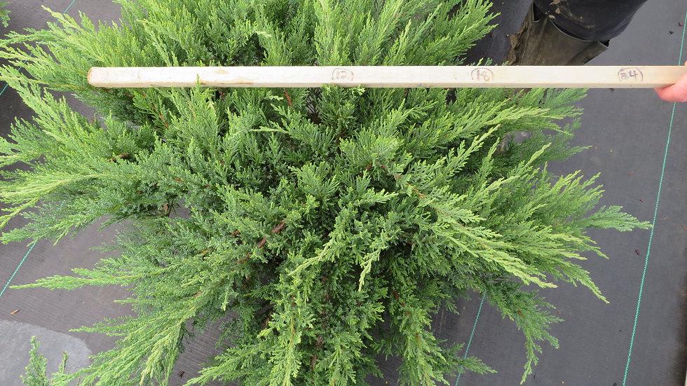 Juniperus sabina 'Monard' MOOR-DENSE® JUNIPER