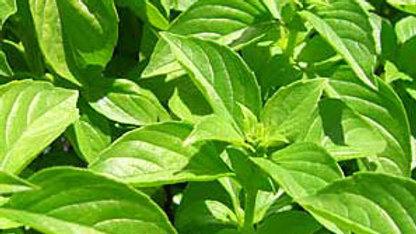 Ocimum basilicum 'Lemon' LEMON BASIL