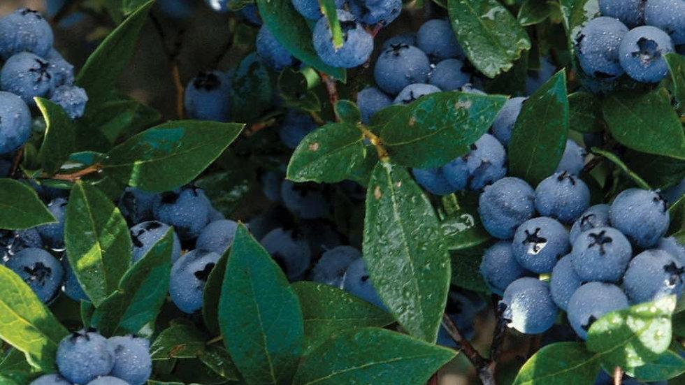 Vaccinium corymbosum 'Blue Crop' BLUE CROP HIGHBUSH BLUEBERRY