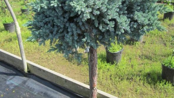 Juniperus squamata 'Blue Star' (Top Grafted Form) BLUE STAR JUNIPER