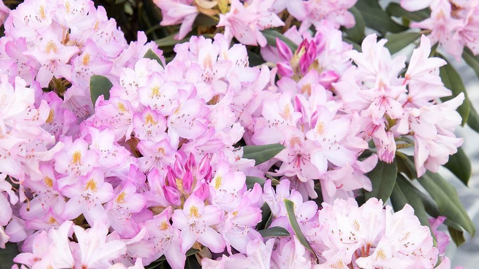 Rhododendron maximum hybrida HYBRID ROSEBAY RHODODENDRON