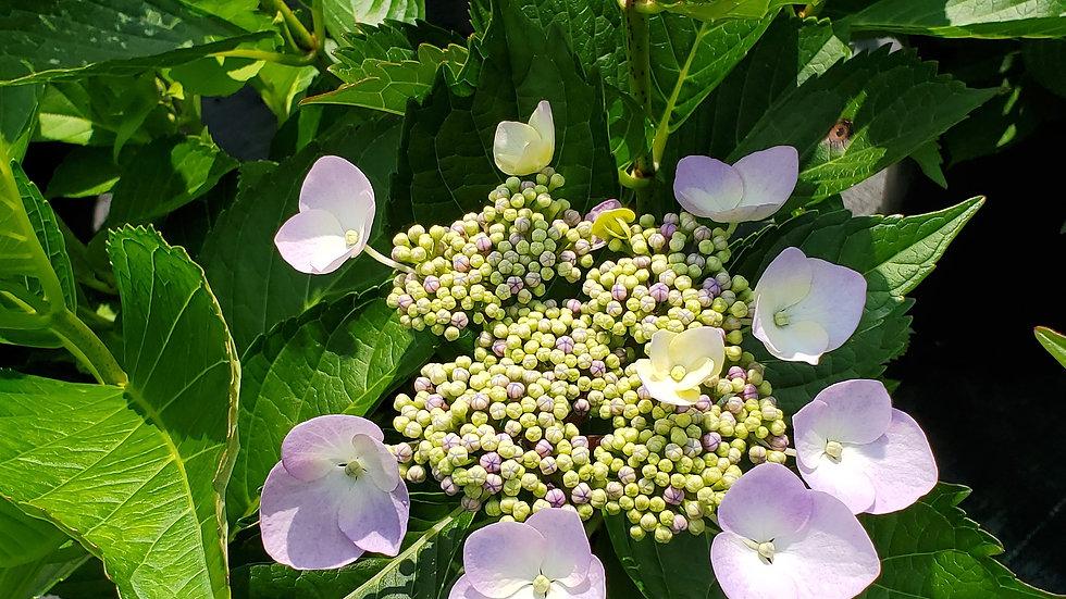 Hydrangea macrophylla 'Blue Cassell' (TM) BLUE CASSELL(TM) HYDRANGEA