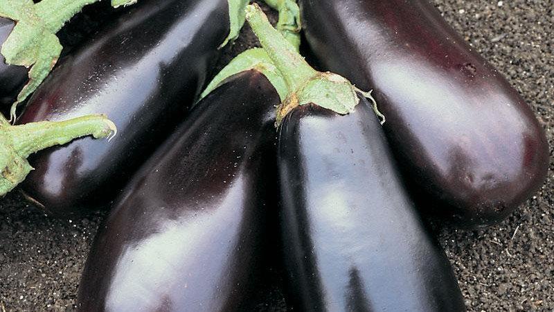 Solanum melongena 'Classic' CLASSIC EGGPLANT