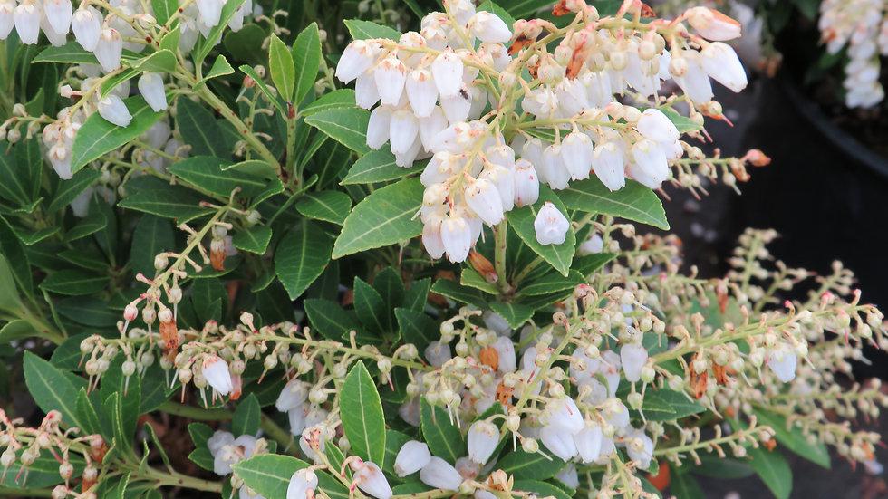 Pieris japonica 'Cavatine' CAVATINE PIERIS