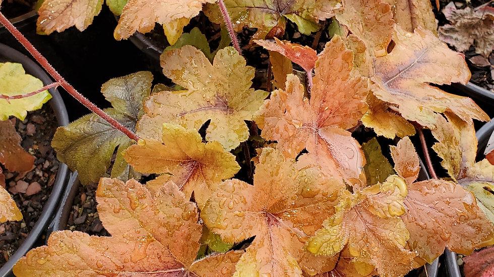 Heucherella 'Pumpkin Spice' (PP 29,925) PUMPKIN SPICE FOAMY BELLS