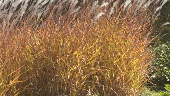Miscanthus sinensis 'Purpurascens' PURPLE MAIDEN GRASS or FLAME GRASS