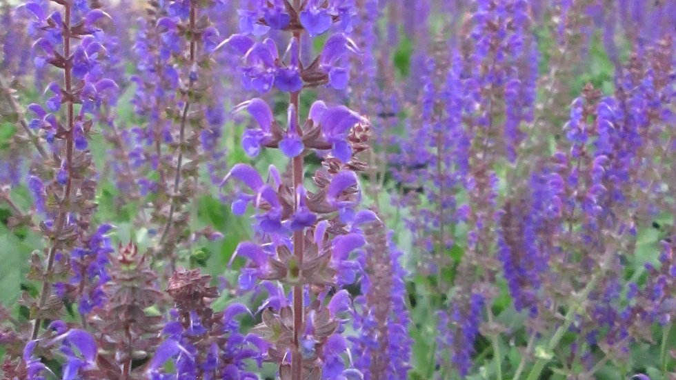 Salvia x surperba 'Mainacht' 'MAY NIGHT' MAY NIGHT MEADOW SAGE