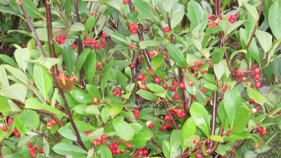 Aronia arbutifolia brilliantissima BRILLIANT RED CHOKEBERRY