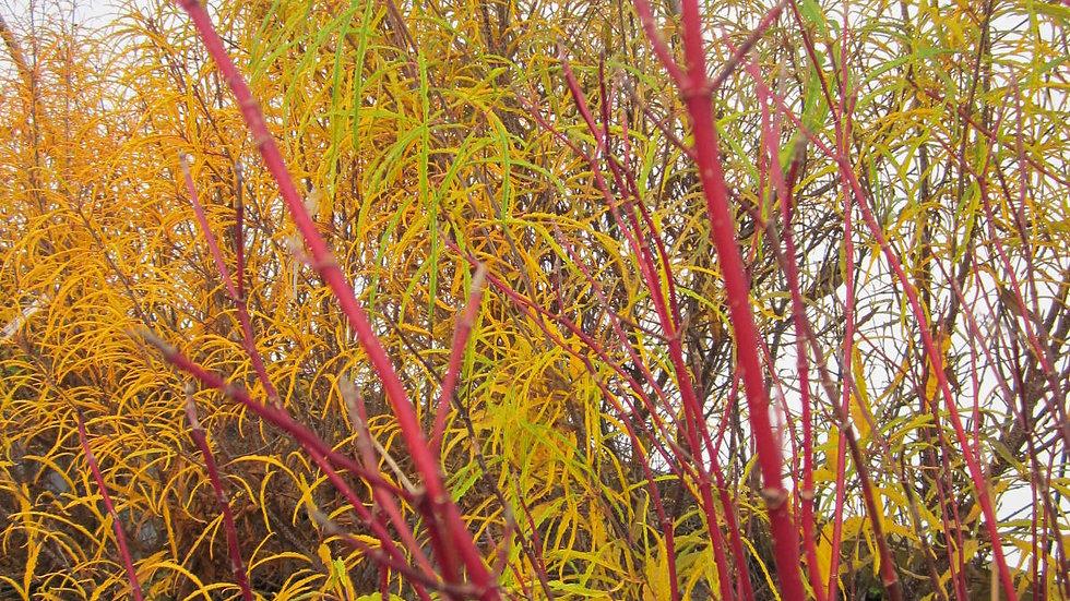 Cornus sericea 'Baileyi' BAILEY RED TWIG DOGWOOD