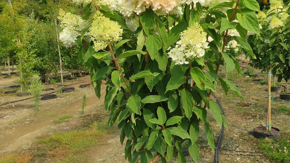 Hydrangea paniculata 'Bokrathirteen' (PP 21,778) SWEET SUMMER HYDRANGEA TREE