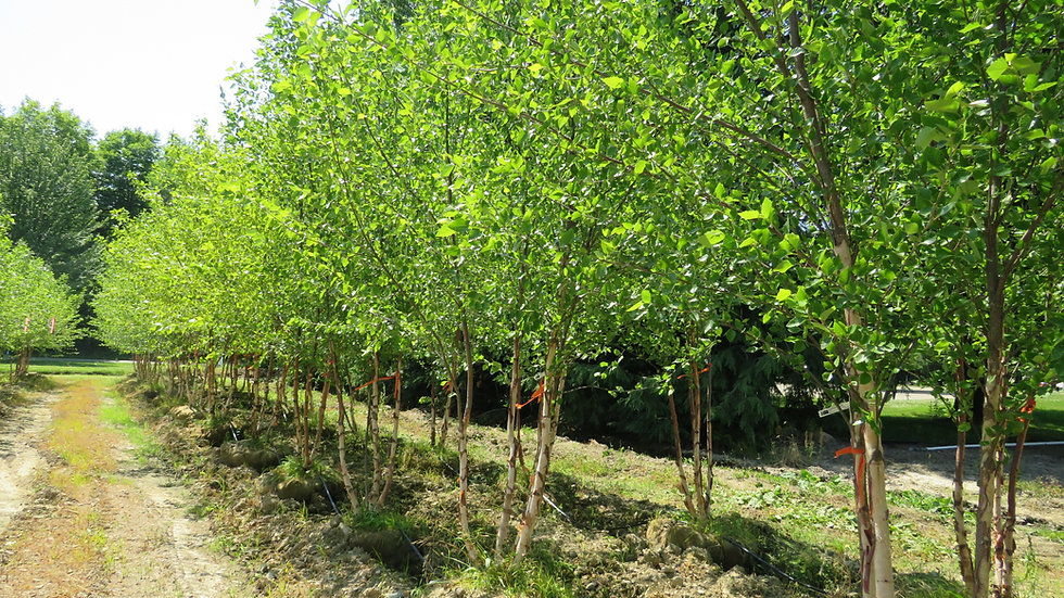 Betula nigra 'Cully' (PP 4,409) HERITAGE® RIVER BIRCH - Clump Form