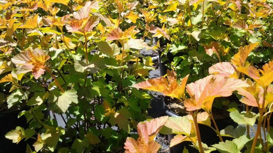 Physocarpus opulifolius 'Jefam' (PP 23,177) AMBER JUBILEE® NINEBARK