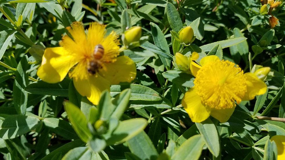 Hypericum frondosum 'Sunburst' SUNBURST ST. JOHN'S WORT